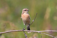 Whinchat Stock Photos