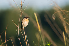 Whinchat. Adult male whinchat in breeding plumage on a straw Stock Photos