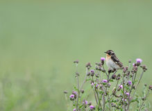 Whinchat bird on thistles. Small common Whinchat male bird resting on wild thistles Royalty Free Stock Photo