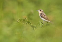 Whinchat bird.. Stock Photography