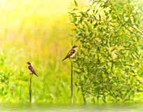 The whinchat birds (bushchat; stonechat; Saxicola) Royalty Free Stock Photography