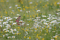 Whinchat in daisies Royalty Free Stock Image