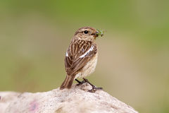 Whinchat Feeding Stock Images