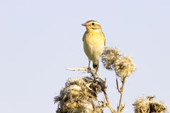 Whinchat female  (Saxicola rubet Royalty Free Stock Images