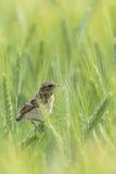 Whinchat juvenil. Fotografia de Stock Royalty Free