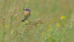 Whinchat laid among the tall grass. In the month of May, among the yellow flowers royalty free stock image