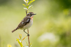 Whinchat Royalty Free Stock Photography