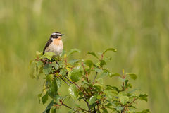Whinchat. Male whinchat sitting on a bush in summer Stock Image