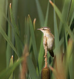 Whinchat nelle canne Immagine Stock
