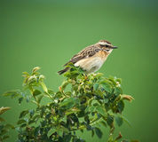 Whinchat perched on a twig Royalty Free Stock Images