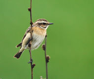 Whinchat perched on a twig Royalty Free Stock Image