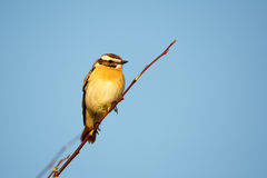 Whinchat portrait Royalty Free Stock Image