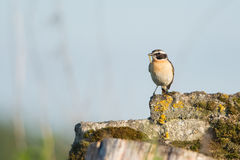 Whinchat with prey Royalty Free Stock Photo