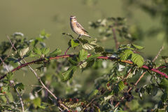 Whinchat (rubetra Saxicola) Στοκ Φωτογραφίες