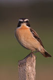 Whinchat (saxicola ruberta) Stock Photo