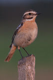 Whinchat (saxicola ruberta) Royalty Free Stock Photography