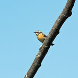 Whinchat, Saxicola rubetra Royalty Free Stock Photo