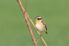 Whinchat / Saxicola rubetra Stock Photography