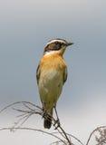 Whinchat (Saxicola rubetra) Stock Photo