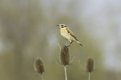 Whinchat  (Saxicola rubetra) Royalty Free Stock Images