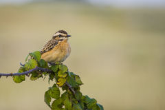 Whinchat, Saxicola rubetra. Whinchat perched on a branch of bramble Stock Photo