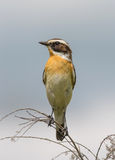 Whinchat (Saxicola rubetra) Stock Photography