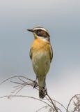 Whinchat (Saxicola rubetra) Stock Photography