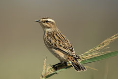 Whinchat Royalty Free Stock Images