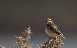 Whinchat (Saxicola rubetra) on a Thistle Royalty Free Stock Images