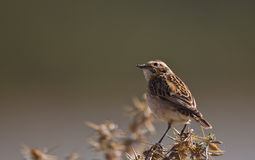 Whinchat (Saxicola rubetra) on a Thistle Royalty Free Stock Photography