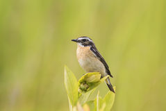Whinchat sit on the branch in summer Stock Photography