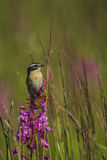 Whinchat sits on a willowherb Royalty Free Stock Photos