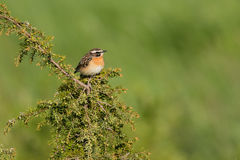 Whinchat. Sitting on a juniper bush in summer Stock Photos