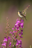 Whinchat sitting on a willowherb Stock Photo