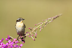 Male whinchat on willowherb Stock Photography