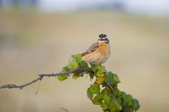 Whinchat. Small migratory passerine bird. Saxicola rubetra Royalty Free Stock Photos
