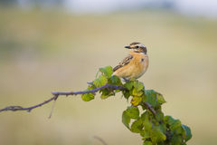Whinchat. Small migratory passerine bird. Saxicola rubetra Royalty Free Stock Photography