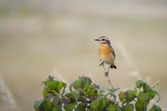 Whinchat. Small migratory passerine bird. Saxicola rubetra Stock Images