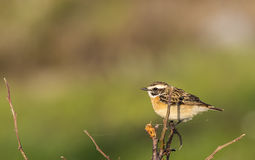 Whinchat on the Stem Royalty Free Stock Photo