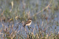 Whinchat. The whinchart is a short - tailed bird. moving on the ground with small, rapid hops and frequently bobbing and flicking its wings and tail. it is Stock Photography