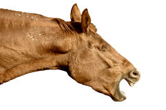 Whinnying horse Stock Images