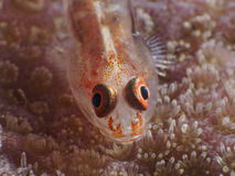 Whip coral goby Stock Image