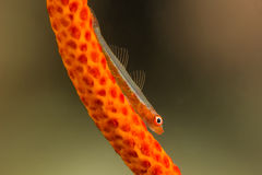 Free Whip Goby On Gorgonian Coral Stock Image - 65565861