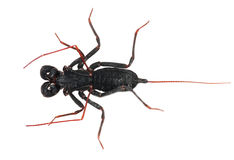 Whip scorpion Royalty Free Stock Images