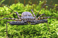 Whip Scorpion (amblypygi) Stock Photography