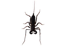 Whip scorpion Stock Photo