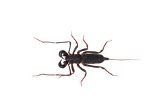 Whip scorpion Royalty Free Stock Photos