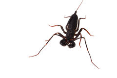 Whip scorpion Stock Image