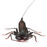 Whip scorpion Royalty Free Stock Photography