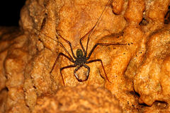 Whip Scorpion Puerto Rico Cave Stock Image